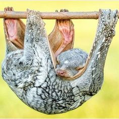 The wonderful colugo, The Philippine flying lemur lives in heavily forested areas of southern Philippines has a patagium - a unique web-like membrane that connects its limbs and allows them to glide between trees at distances of 320 ft (100 m) or more! Its patagium also functions as a hammock-like pouch for its young. On the ground, colugos are slow and clumsy, and not able to stand erect, so they rarely leave the canopy level of the forest. -IG by @a.is.for.animals