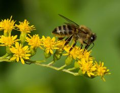 How Rising CO2 Levels May Contribute to Die-Off of Bees by Lisa Palmer: Yale Environment 360