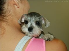 Ranked as one of the most popular dog breeds in the world, the Miniature Schnauzer is a cute little square faced furry coat. Miniature Schnauzer Puppies, Schnauzer Puppy, Schnauzers, Teacup Schnauzer, Cute Puppies, Cute Dogs, Dogs And Puppies, Doggies, Terrier Puppies