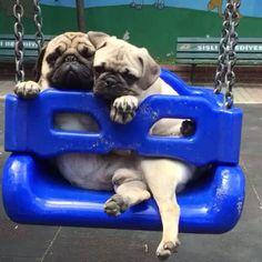 Bop & Rio salıncak keyfi #dog #pug #dogsofvine