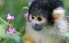 Cría de mono ardilla (Género Saimiri)