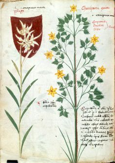 Edelweiss (f.35v) -- Herbal or «Codex Bellunensis». N. Italy {Balluno?), early 15th c. [BL Ms Add. 41623] -- Drawing of perhaps the earliest representation of the edelweiss.