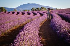 Bridestowe Lavender Fields, Tasmania