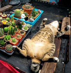 Cactus cat - fewer pointy parts than the others. Cactus cat - fewer pointy parts than the others. Cute Cats And Dogs, I Love Cats, Cool Cats, Cats And Kittens, Crazy Cat Lady, Crazy Cats, Cactus Cat, Cute Animals, Funny Animals