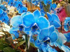 phalaenopsis-orchideen-in-blauer-farbe-orchidee-pflege-orchidee
