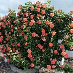 Rosa Trepadeira cor Salmão - Jardim Exótico - O maior portal de mudas e sementes…