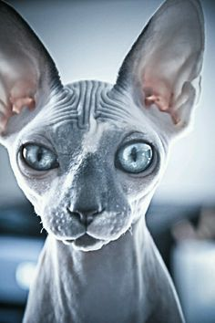 Someone from Alberta is cheating cat lovers by selling them shaved kittens. These shaved kittens were sold in the market as the hairless Sphynx cats. Pretty Cats, Beautiful Cats, Animals Beautiful, Cute Animals, Baby Animals, Gato Sphinx, Rex Cat, Yoda Cat, Photo Chat