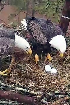 Live Stream of Eagles nest on the campus of Berry College, 1 st egg hatched yesterday