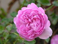 Charles Rennie Mackintosh -  David Austin Roses - next on the list