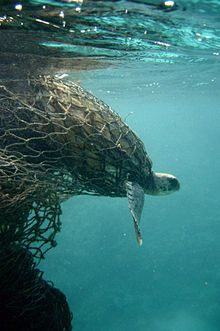 Plastic pollution - Sea turtle entangled in a ghost net