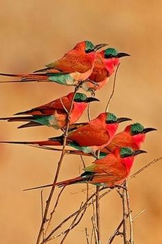 Carmine Bee-Eaters - In West Africa, the Mandinka people call it 'cousin to the fire' because it often flies close to grass fires to feed on fleeing insects.