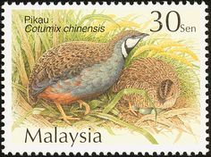 King quail (Synoicus chinensis)