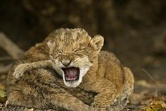 Lion Cubs Crying After Their Mother by Michael Nichols