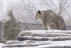 By jhs snow leopard Toronto Zoo, Animals, Animais, Animales, Animaux, Animal, Dieren