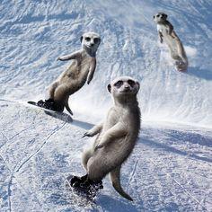 Maverick Meerkats Calendar 2013