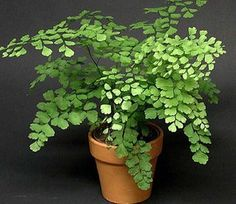 Maidenhair Fern . Their tiny black stems seem to disappear and the leaves look like they're floating.