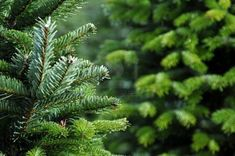 Photo about Close up of a Christmas tree farm in Oregon. Image of country, tagged, trees - 11715206 White House Christmas Tree, Photo Christmas Tree, Fresh Cut Christmas Trees, Types Of Christmas Trees, Potted Christmas Trees, Christmas Farm, Vector Christmas, Natural Privacy Fences, Trees To Plant