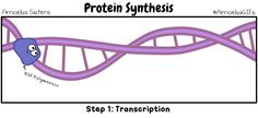 Ain't no party like a protein synthesis party 'cause a protein synthesis party don't stop. *ahem* Here is a GIF demonstrating transcription and translation! As always, all our science GIFs can be...