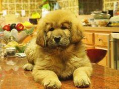 never heard of a Tibetan Mastiff, but oh my, how cute!