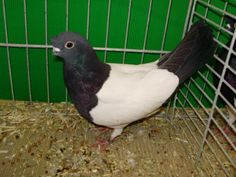 The Chinese Tumbler - also known by the names: Chinese Nasaltuft, Culbutant Chinois, Chinesischer Tümmler, Capitombolante Cinese, short face - tumbler pigeons Tumbler Pigeons, Pigeon Pictures, Pigeon Breeds, Wood Pigeon, Chinese, Parrot, Arabic Language, Birds, Pakistan