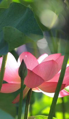 ☥ Nuk Seshini Ab Per -m- Sekhet ~ I Iz the lotus emerging pure from the mud ☥