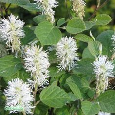 Fothergilla major - stor häxal