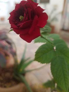 Meroon Velvet Rose of my Home