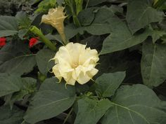 Datura Metel | ... to Window Naked Image - Image of Solanaceae Datura metel TERMS OF USE