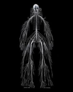 A model of the human nervous system, by Rufus Benjamin Weaver.