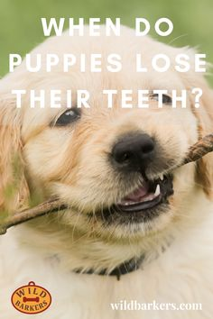 When Do Puppies Lose Their Teeth? Teeth Development and Puppy Teething Puppy Teething, Puppy Stages, Puppy Biting, Can You Help, Puppies, Dogs, Animals, Cubs, Animales