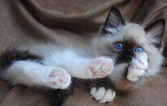 Massachusetts Ragdoll cat breeders - Ragdoll kittens for Sale.