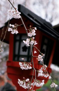 Shrine Lantern and sakura, Japan