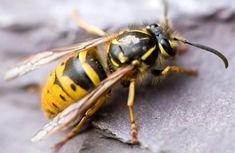 9 Hausmittel gegen Wespen: Die vertreiben sie effektiv! Beauty Tips For Teens, Beauty Tips For Hair, Garden Pests, Wasp, Good To Know, Beautiful Pictures, Outdoor, Tricks, Yellow Jackets