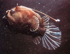 Wohba!: Anglerfish <i>(Dolores, I Live in Fear)</i>