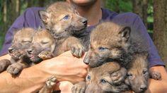 Viele Jahre hat es gedauern, nun ist der ersehnte Nachwuchs bei den Wölfen im Wildpark da. Sechs Welpen sind geboren.