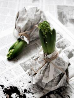 DIY: Hyacinth in the black and white jacket- DIY: Hyazinthe in der schwarz-weißen Jacke Photo by Johanna Eklöf / Formelle Design Spring, Flowers, Bulbs - Winter Flowers, Spring Flowers, Black And White Jacket, Black White, Fleurs Diy, Spring Photos, Spring Bulbs, Deco Floral, Bulb Flowers