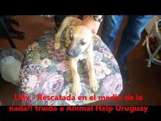Lilly   Rescatada en el medio de la nada!! traída a Animal Help Uruguay