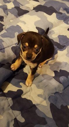 Min Pin/Chihuahua puppies is an adoptable Miniature Pinscher, Chihuahua Dog in Sinking Spring, PA Please meet Pistachio, Cashew, Hazelnut, Macadamia!  They are 4 Min Pin/Chihuahua puppies (male ... ...Read more about me on @petfinder.com