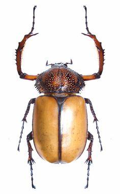 Propomacrus dcvidi - Long-arm beetles -  EUCHRINAE