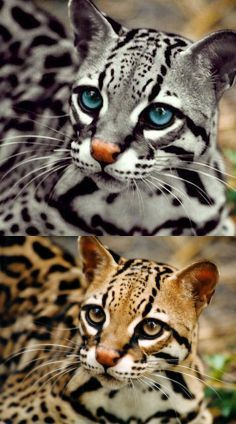 ALTERED: The top image has been altered. The bottom image is the original of the Ocelot.