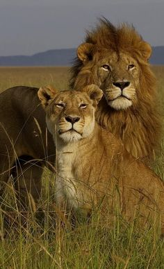 Healthy wild lions....Beautiful!