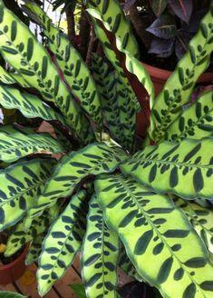 Calathea lancifolia - what a pattern!