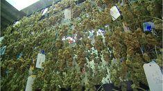 Marijuana plants  Colorado collects $2m in marijuana taxes in January