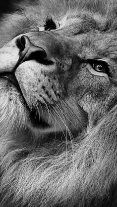 Best 7 Black Lion Wallpapers High Definition For Your Android or Iphone Wallpapers Lion Images, Lion Pictures, Animal Pictures, Pictures Images, Tier Wallpaper, Animal Wallpaper, Mobile Wallpaper, Lion Wallpaper Iphone, Beautiful Lion