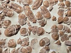 Group of the trilobite Xenasaphus devexus -  Middle Ordovician,  Russia