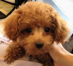 Alfie the red toy poodle