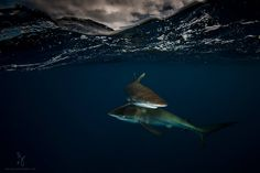 Matt Smith - Vieu Photography‎ > MarineBio.org - An intimate moment between two silky sharks at Jardines de la Reina (Gardens of the Queen) 60 miles off the coast of Cuba.