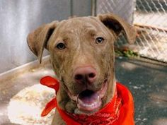 DOLCE is an adoptable Pit Bull Terrier Dog in New York, NY.  ...