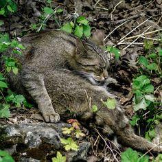 Echte #Wildkatze. real #Wildcat #animals #cat #wild