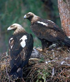 Eastern Imperial Eagle, Slovakia, Stanislav Harvančík Bird photography by … | arnika travel